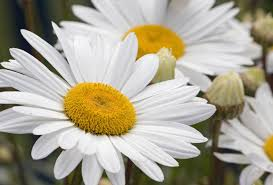 pic-daisies