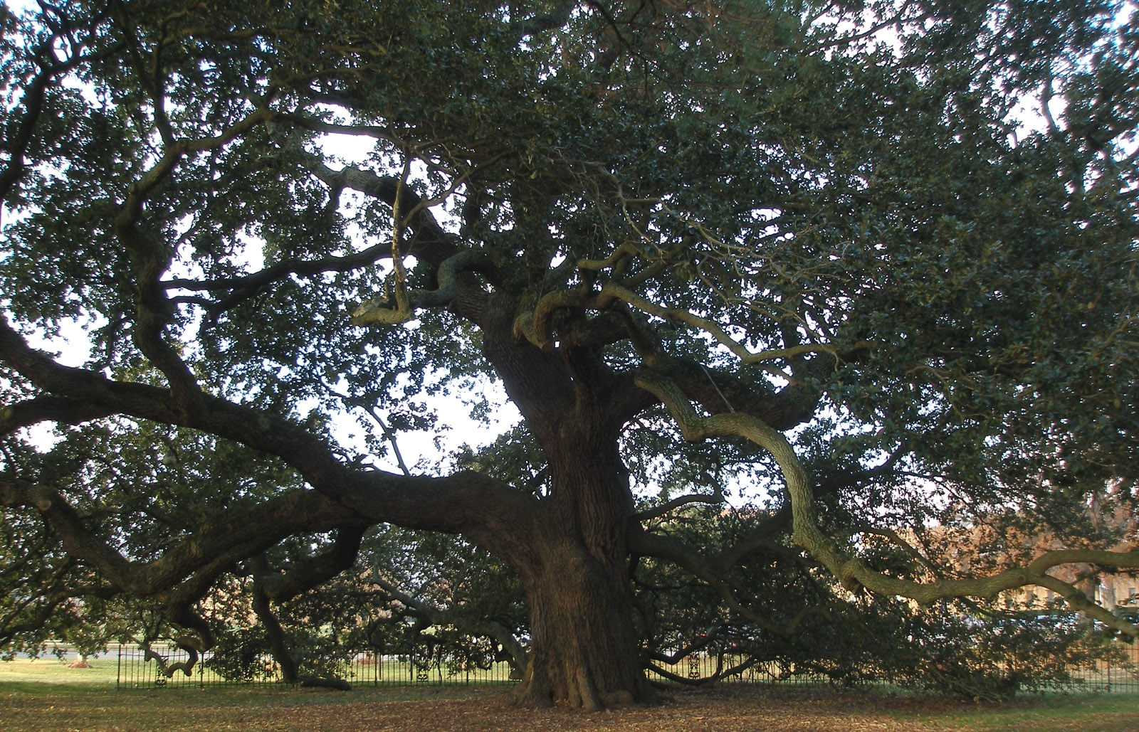 Hampton_University_-_Emancipation_Oak